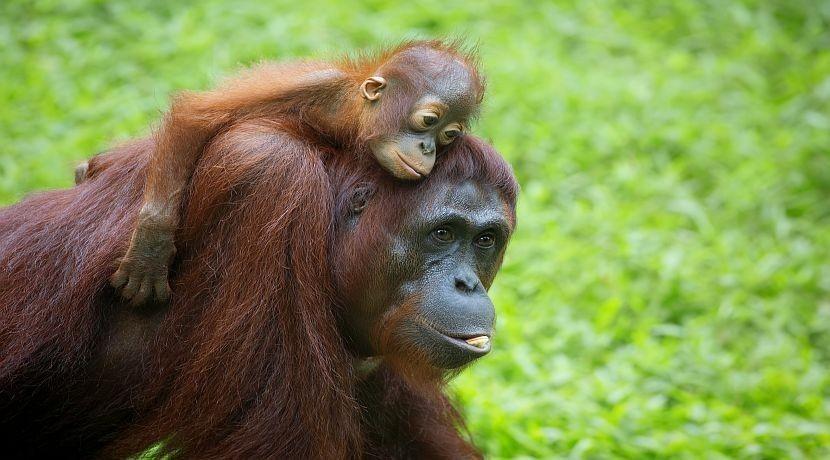 Un par de orangutanes pasea tranquilamente por la ciudad de Ho Chi Minh City, Vietnam