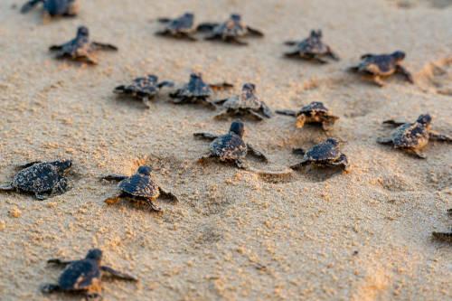 Récord: la pandemia favorece la eclosión de tortugas en las playas de México