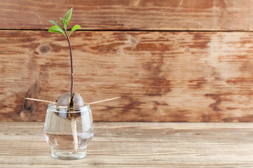 Paso a paso: aprende a germinar una semilla de aguacate