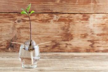 germinar semilla de aguacate