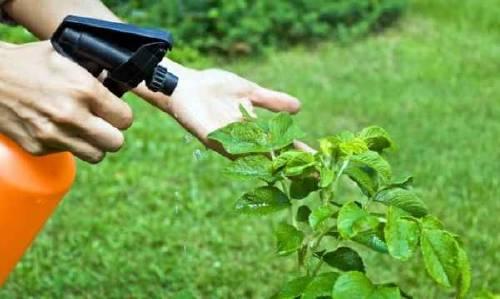 Cómo hacer Insecticida casero y ecológico para el jardin