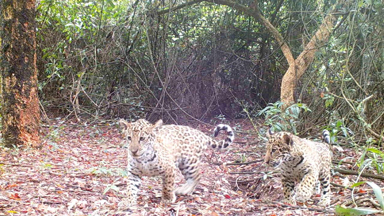 Una nueva familia de yaguaretés silvestres vive libre en el Parque Iberá