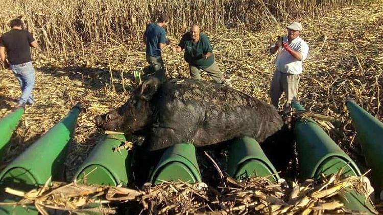 Jabali de 270 kilos quedo atrapado en una maquina agricola