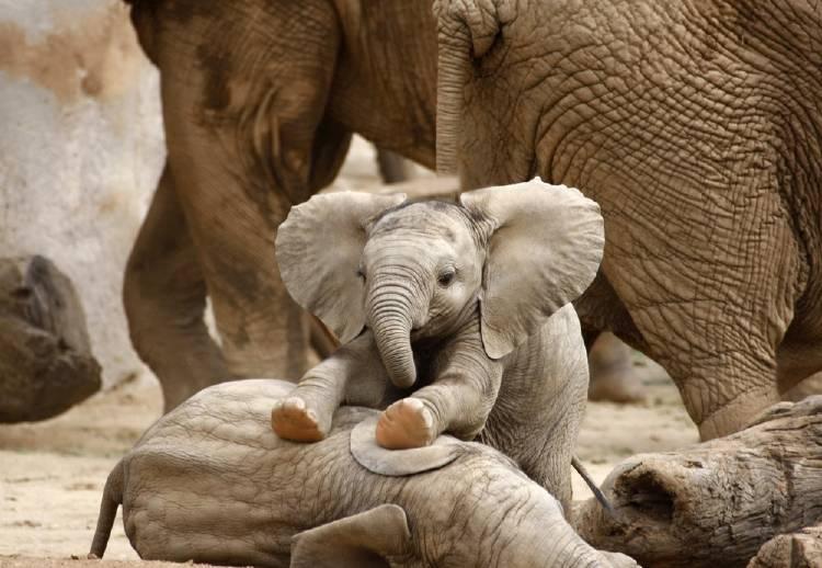Elefantes: datos curiosos sobre los animales