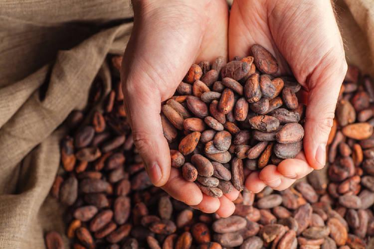 manos sostienen frutos del arbol de cacao