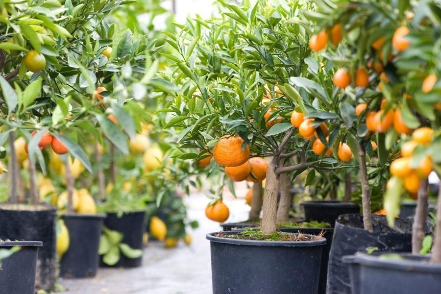 Claves para cultivar rboles frutales en macetas for Bioguia jardines