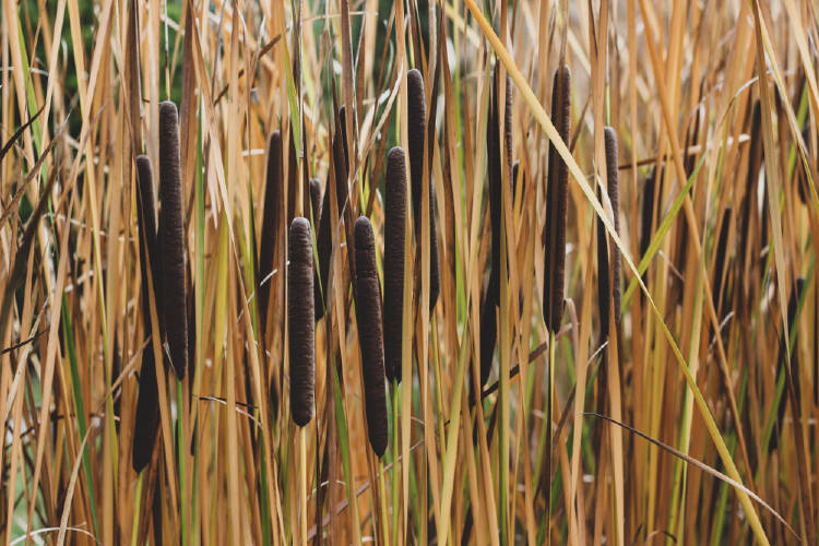 typha senegal