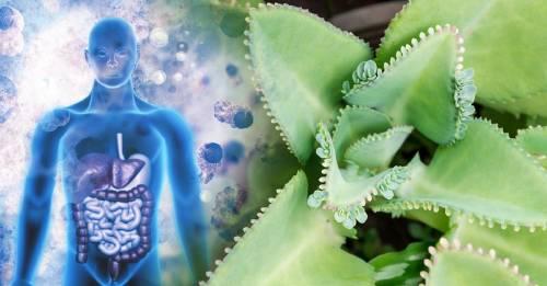 Planta de fácil crecimiento con poder anti cáncer y para tratar tumores