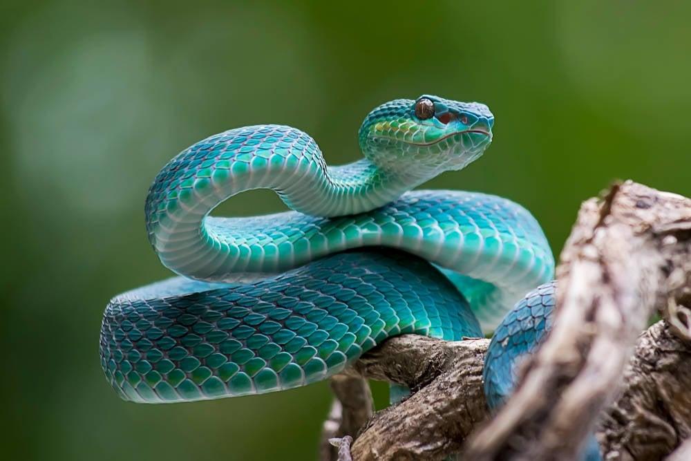 Alerta mundial por la falta de antídotos contra las mordeduras de serpientes