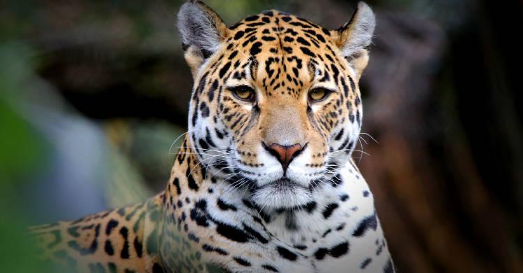 incendios-forestales-bolivia-jaguar-borde-extincion