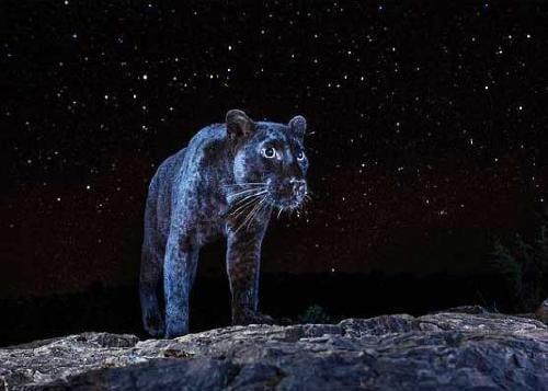 Logran fotografiar a un curioso leopardo negro en África, luego de un siglo sin
