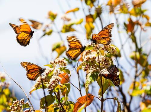 Fue asesinado un ambientalista mexicano defensor de la mariposa monarca