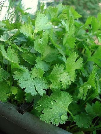 beneficios del cilantro