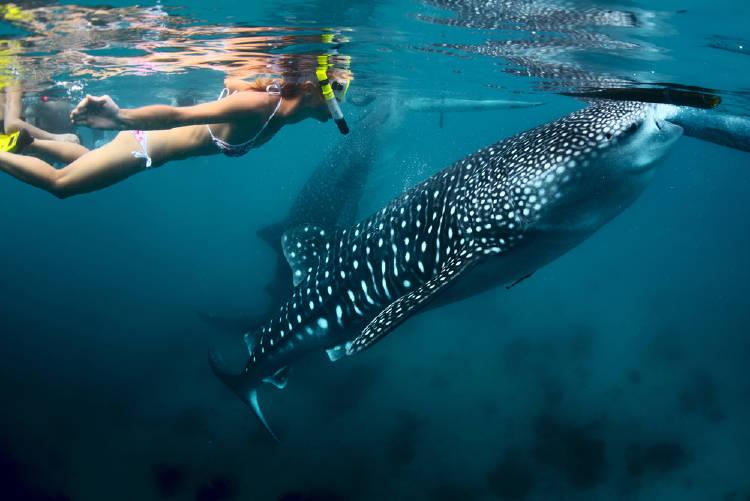 joven buceando con el tiburon ballena en filipinas