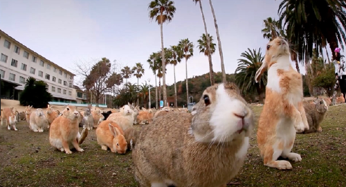 Esta isla japonesa con un oscuro pasado ahora está repleta de miles de conejos
