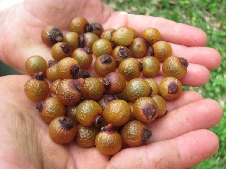 Un árbol que produce jabón como frutos