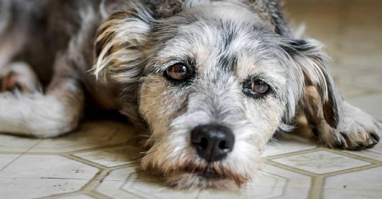 perro con mirada triste acostado en el piso de una casa
