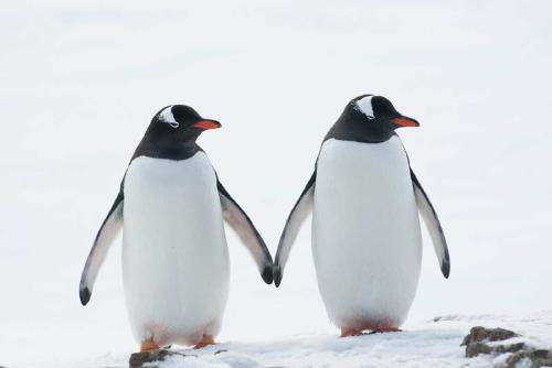 Pareja de pingüinos del mismo sexo se convierte en padres por segunda vez