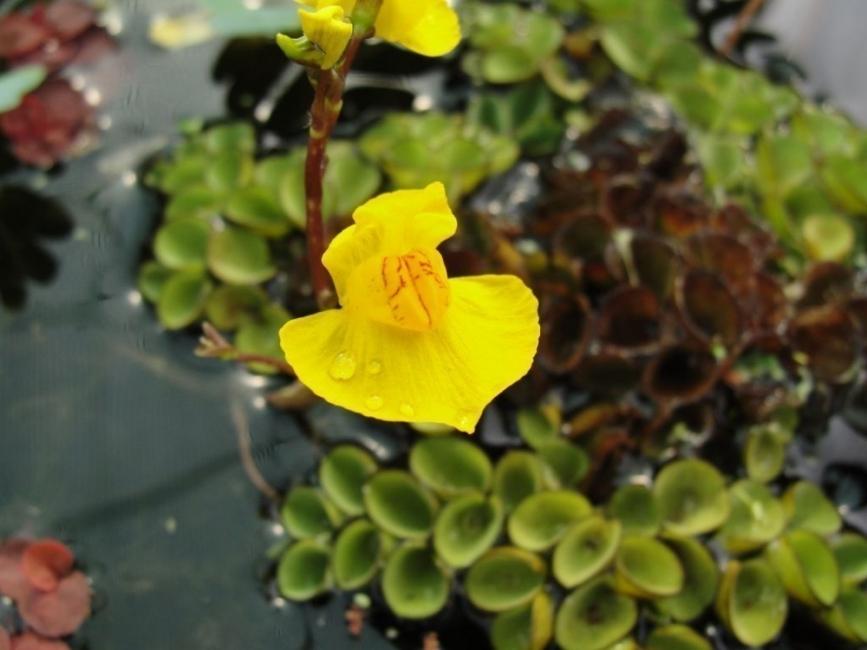 planta carnívora