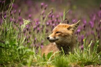 zorro-rojo-primavera