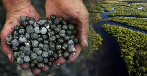 Açaí: el fruto que puede salvar el Amazonas