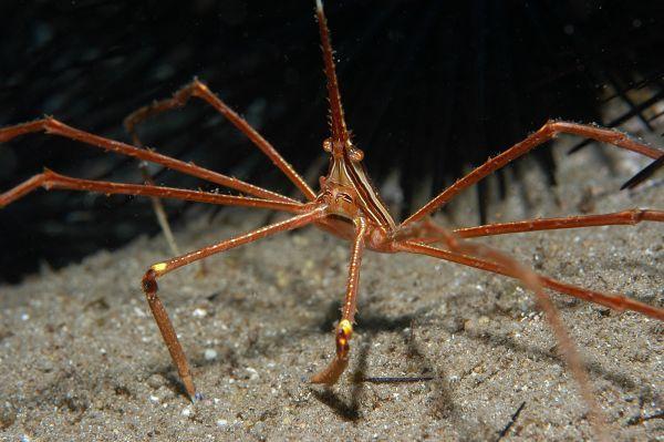 cangrejo araña de mar