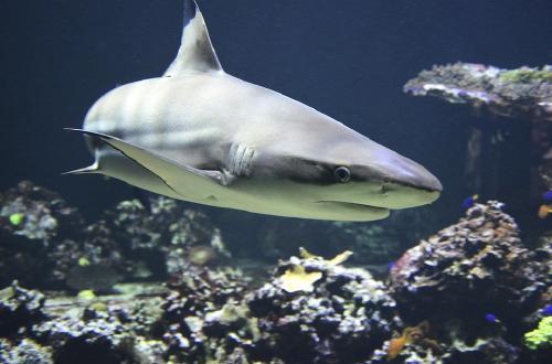 Advierten que medio millón de tiburones podrían morir por la vacuna del COVID