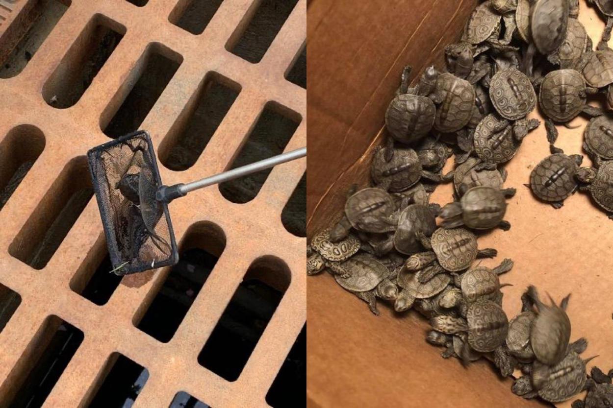 Ciudadanos se unen para salvar a cientos de tortugas que habían caído a las cloacas