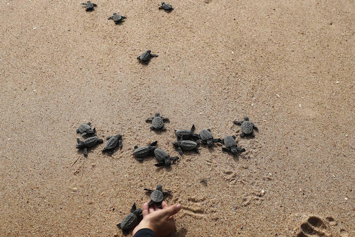Un proyecto brasileño conmemora 40 millones de tortugas devueltas al mar