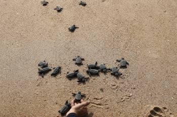 crías de tortugas que se dirigen hacia el mar este sábado en la playa del forte en el estado de Bahia. EFE/Marcelo Sayão