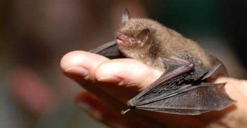 Científicos encuentran lotes de nuevos coronavirus en murciélagos en China