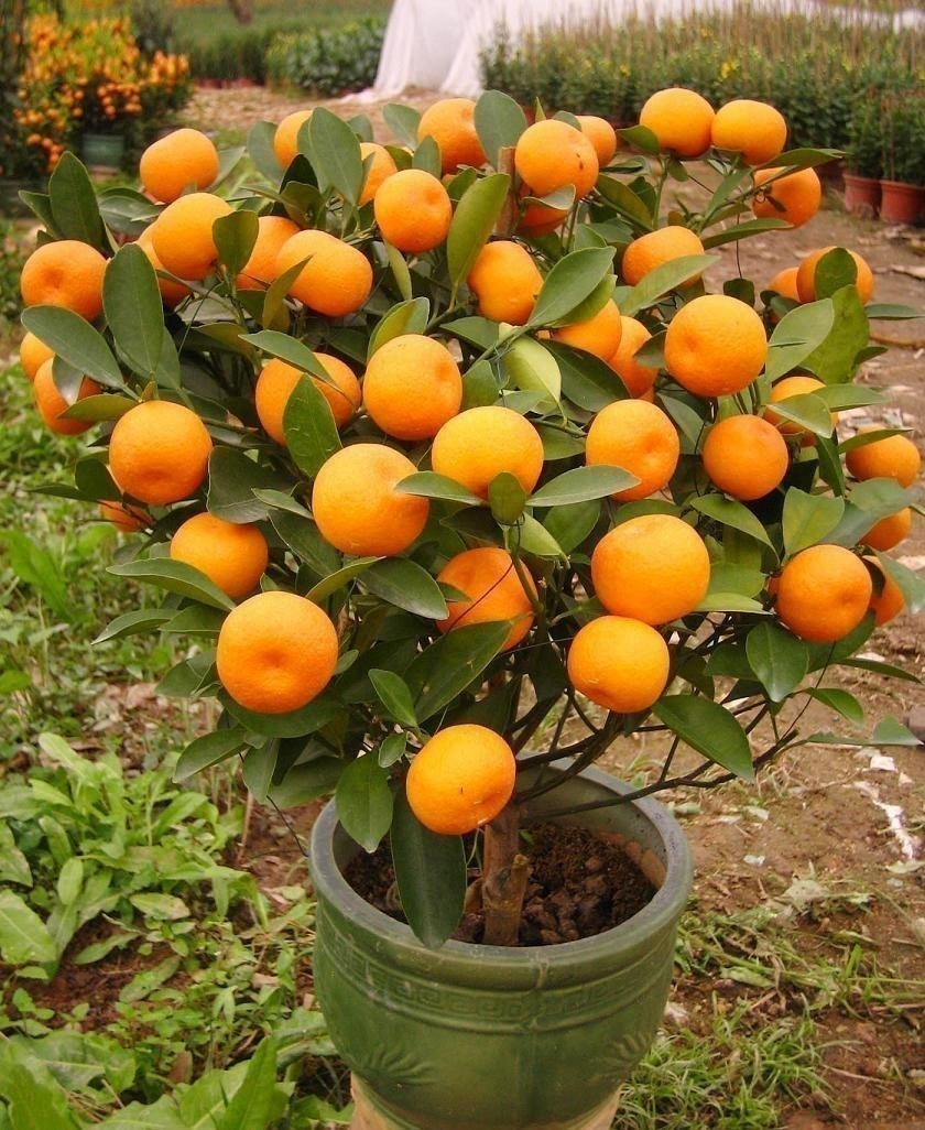 Cómo cultivar mandarinas en macetas y qué hacer con ellas | Bioguia