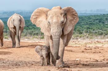 Un elefante camina con su cría
