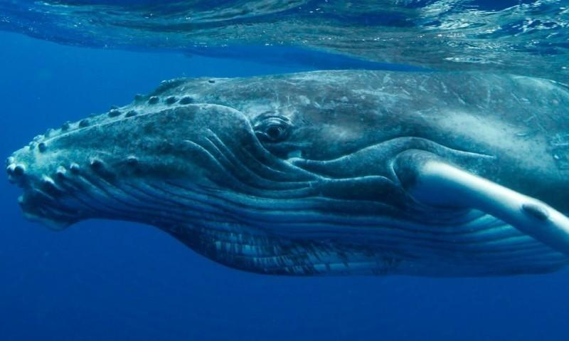 ballena jorobada ojos
