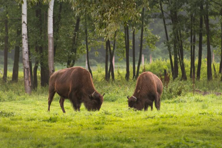 american-bison-3580601_1920