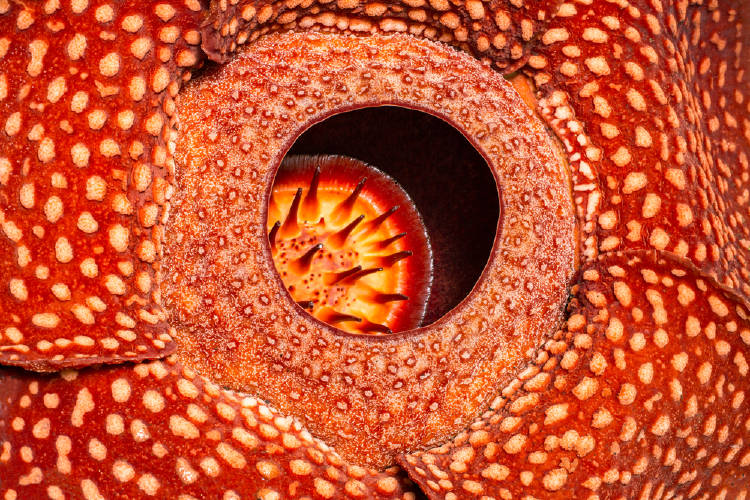 rafflesia flor monstruo indonesia