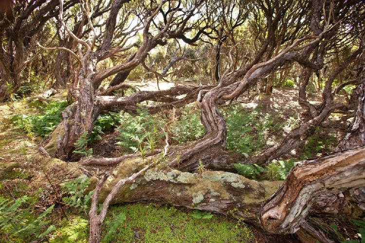 bosque auckland