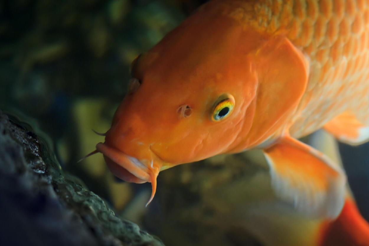 Conoce a Hanako, el pez koi más viejo del mundo, que murió a los 226 años