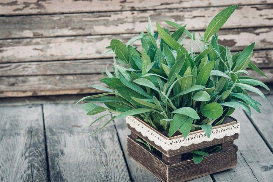 Salvia: su infusión mejora la digestión