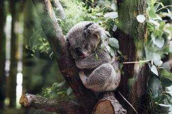 Nacieron 9 koalas en un parque tras incendios en Australia