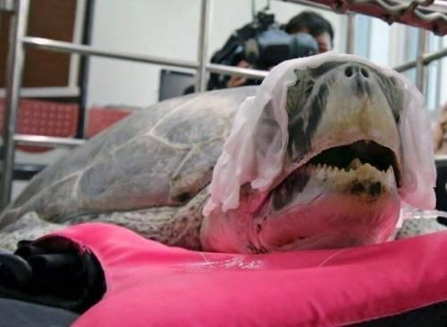 Murió Omsin, la tortuga que había tragado más de 1000 monedas