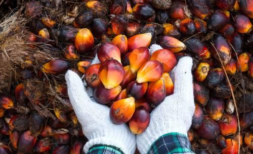 ¿Cuáles son las consecuencias del aceite de palma en el ambiente?