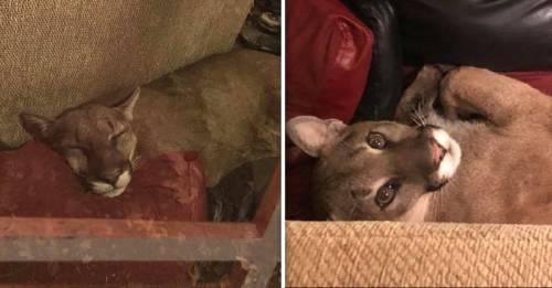 Una mujer encontró un puma en su casa y afirma que lo sacó mediante telepatía