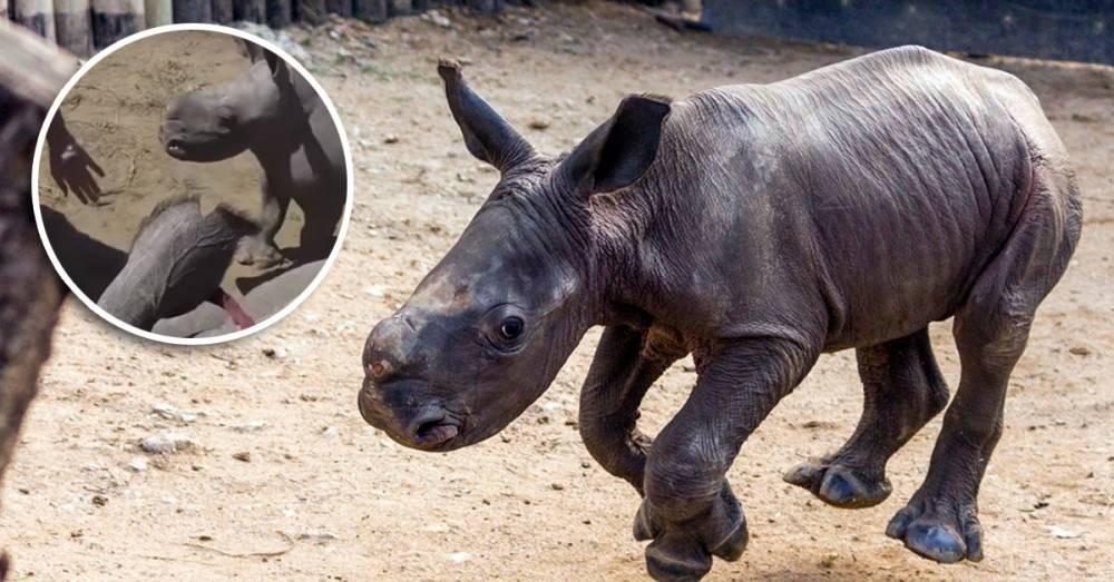 ¿Buenos o malos? Este rinoceronte bebé no diferencia a los veterinarios de l..