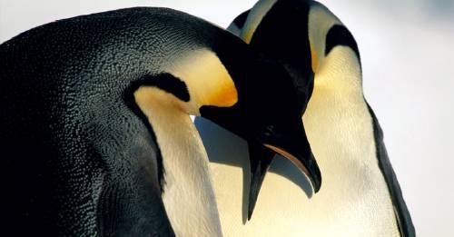 """Amor animal: una \""""pareja de pingüinos gay\"""" adopta a una cría olvidada por sus padres"""