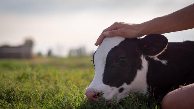 acariciar vaca