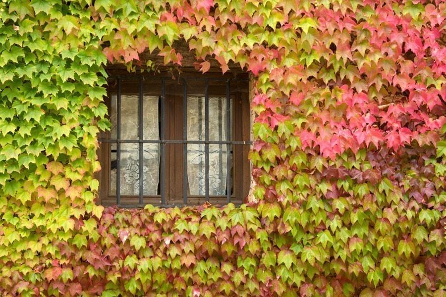Las mejores plantas enredaderas para llenar de vida - Tipos de plantas de exterior ...