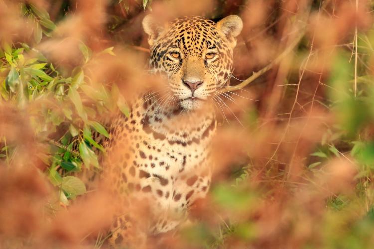 Día Mundial del Yaguareté: una oportunidad única para salvar a la especie