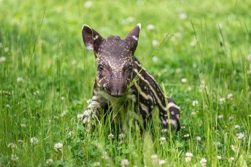 Nace el primer tapir macho en casi 10 años en Singapur