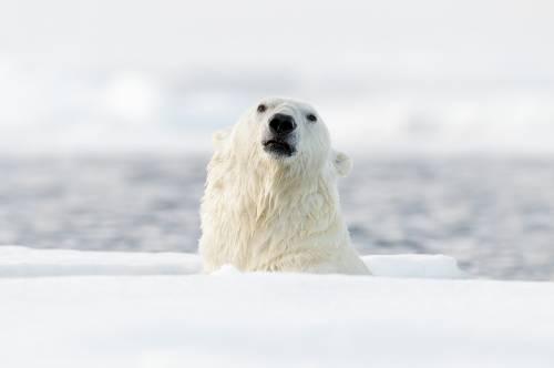 Pintan un mensaje sobre un oso polar y ponen en peligro su vida